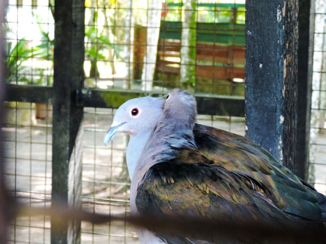 imperial-pigeon