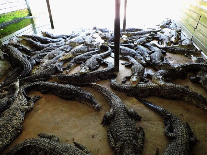 krokodilcheta