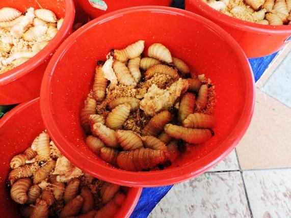 sago-worms