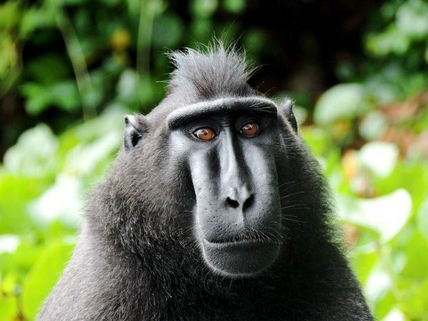 majmun2