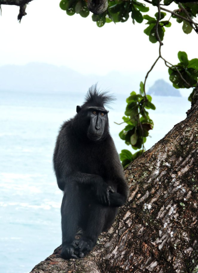 majmun3