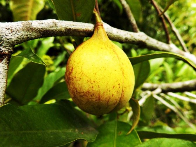 plod-na-indijsko-orehche