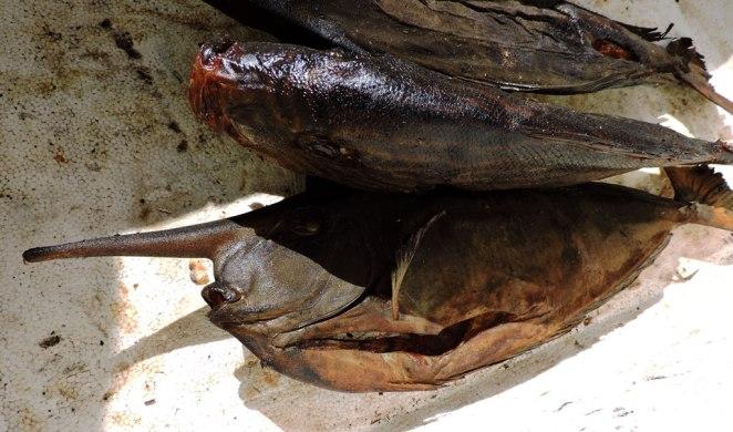 unikalna-nosata-riba