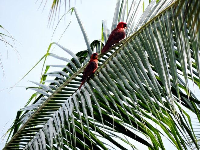 cherveni-papagali