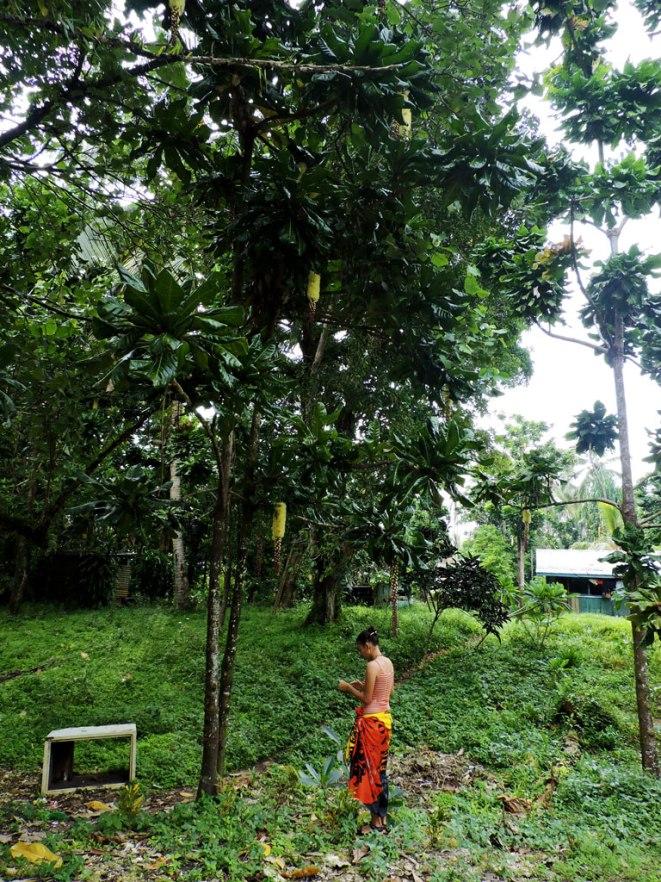 catnut-tree